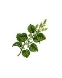 Patchouli [huile essentielle]